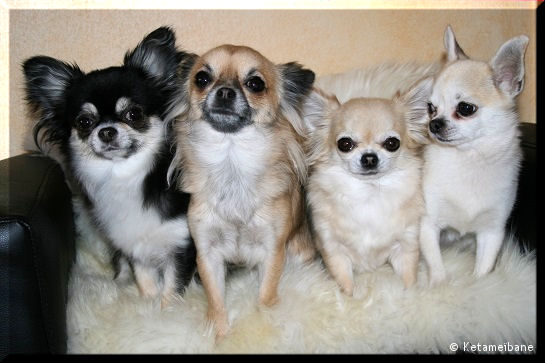 Our chihuahuas